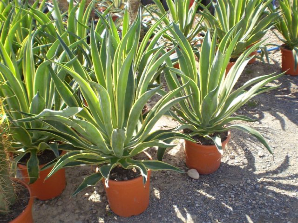 agave desmentiana