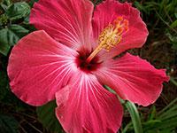 Coltivare e curare l 39 ibisco utili consigli per i fiori di for Ibisco rosso