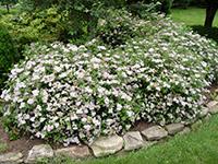 Vivai loda for Cespugli fioriti da giardino