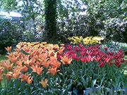 Come coltivare i tulipani piantare i bulbi cura e for Cosa piantare a dicembre