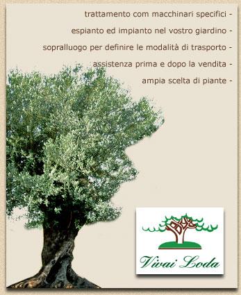 Vivai loda vendita olivi vendita ulivi ornamentali for Vendita piante olivi
